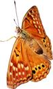 Oranje butterfly 130px