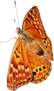 Oranje butterfly 130px by EXOstock