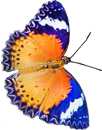 Blue butterfly 6 130px
