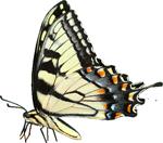 Blue butterfly 3 150px by EXOstock