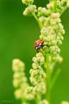 Lonesome Ladybeetle