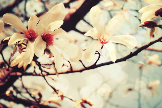 Magnolia by iNeedChemicalX