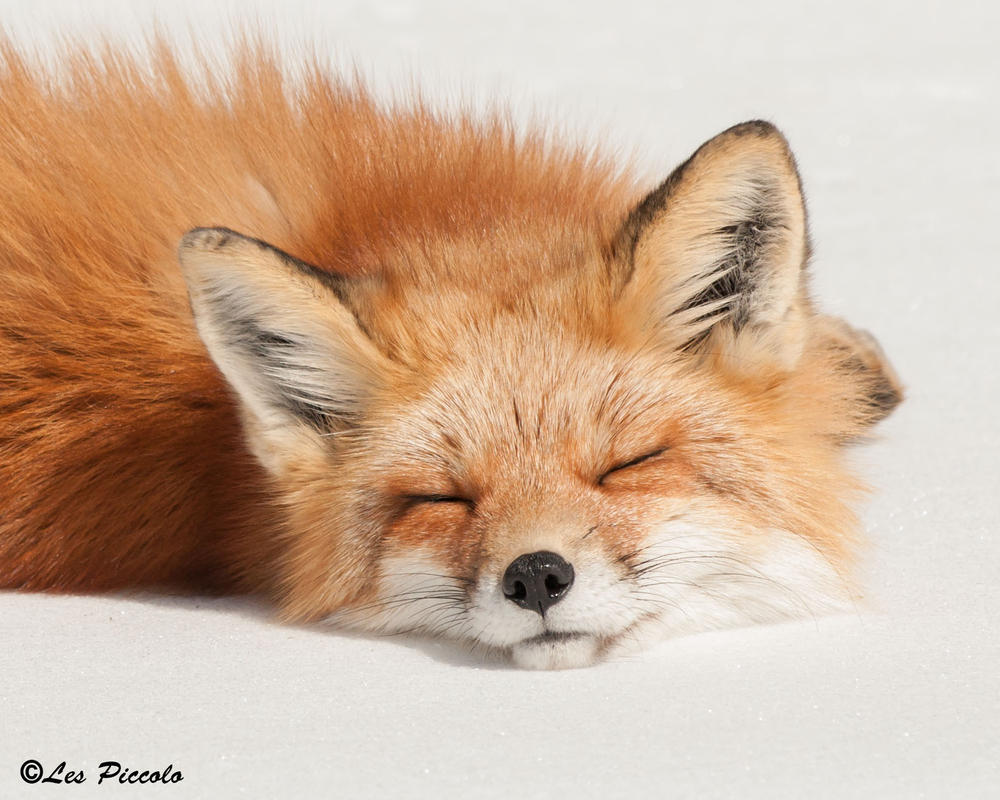 Sleeping Fox by Les-Piccolo on DeviantArt