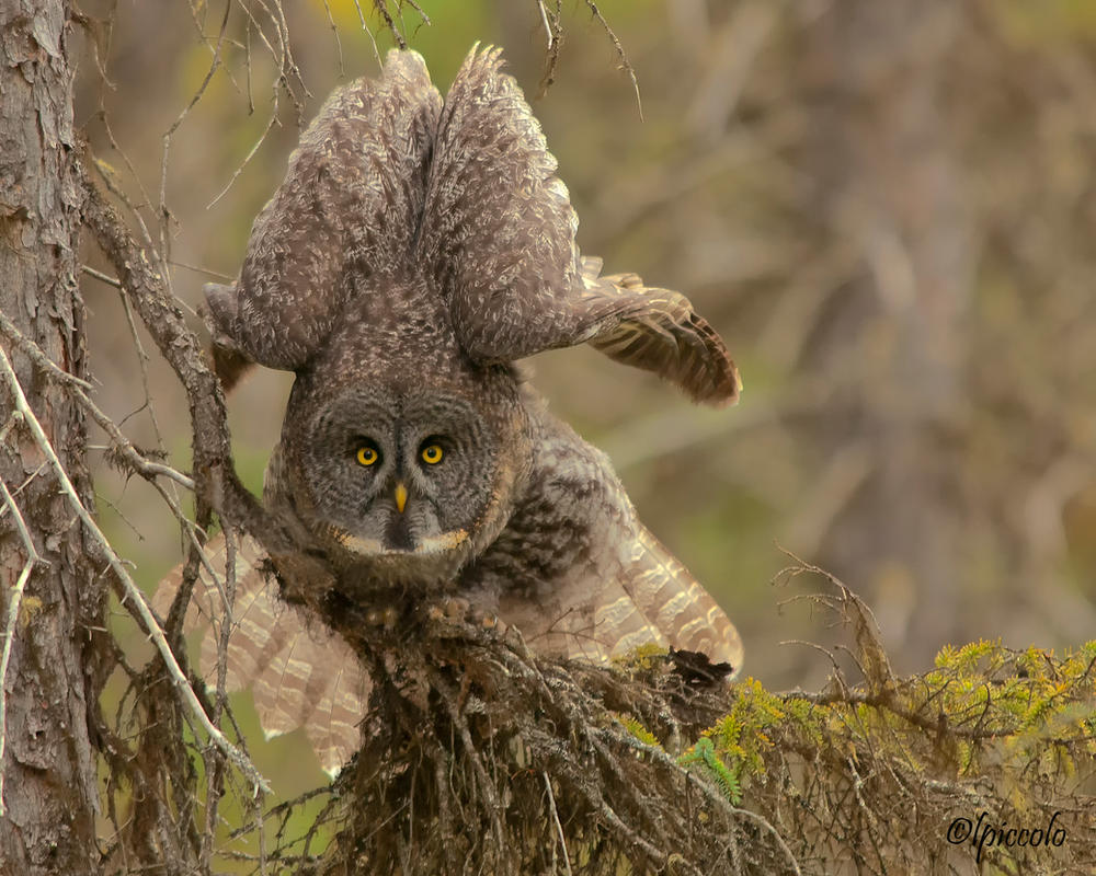 Great Gray Owl by Les-Piccolo on DeviantArt