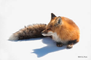 Fox On Snow by Les-Piccolo