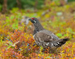 Spruce Grouse in Blueberries