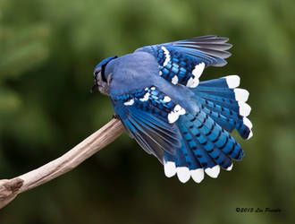 Blue Jay Feathers by Les-Piccolo