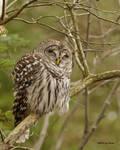 Barred Owl - Sleepy Owl