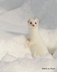 Short-Tailed Weasel by Les-Piccolo