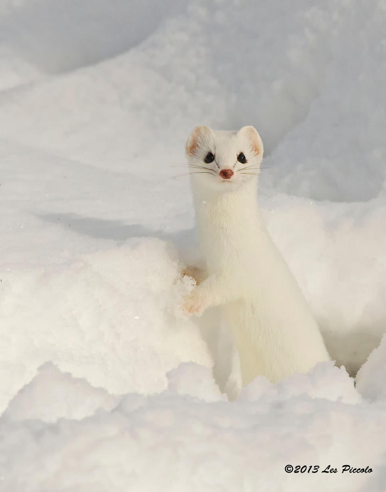 Baby short tailed weasel - photo#11