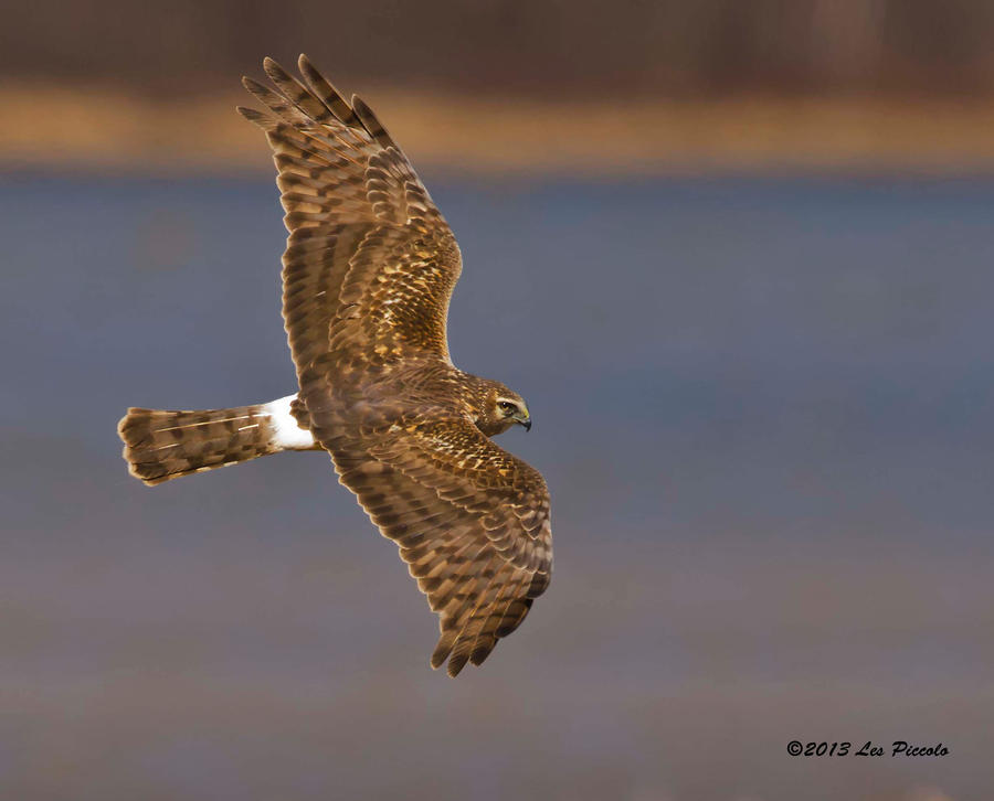 Female Northern Harrier by Les-Piccolo on DeviantArt
