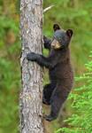 Bear Cub 2 by Les-Piccolo