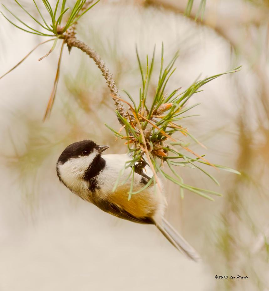 Chickadee in Pine by Les-Piccolo