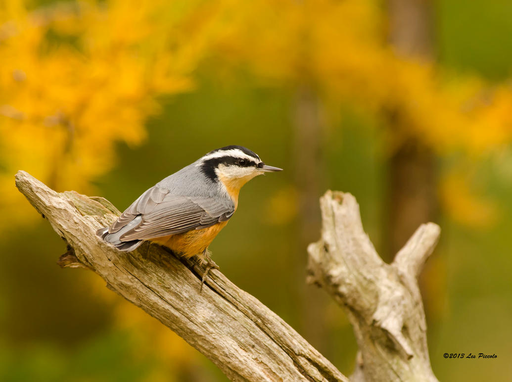 Nuthatch by Les-Piccolo