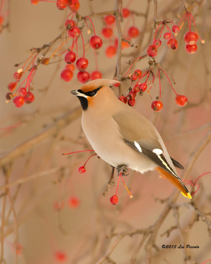 Bohemian Waxwing 2 by Les-Piccolo