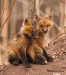 Fox Kits by Les-Piccolo