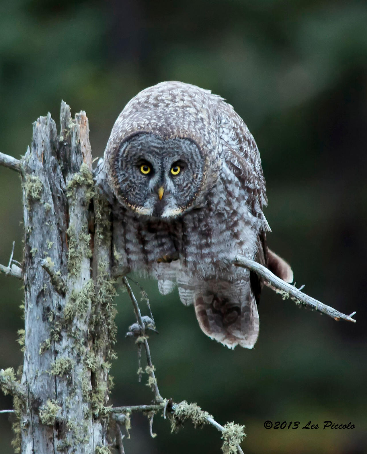Great Gray Owl 2 by Les-Piccolo on DeviantArt