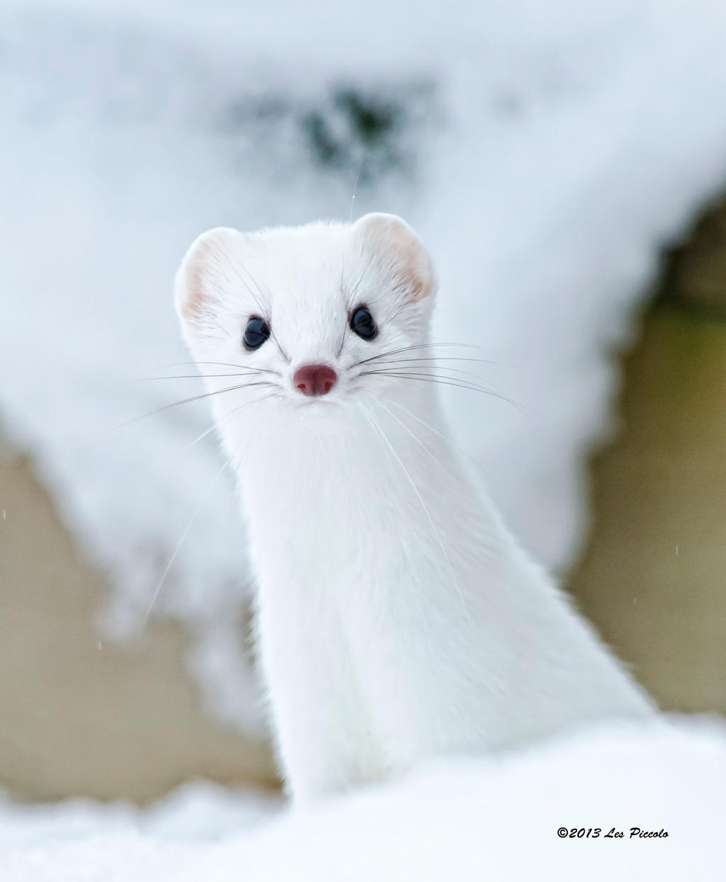 Short-Tailed Weasel 3 by Les-Piccolo