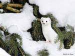 Short-Tailed Weasel 2