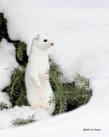 Short-Tailed Weasel 4 by Les-Piccolo