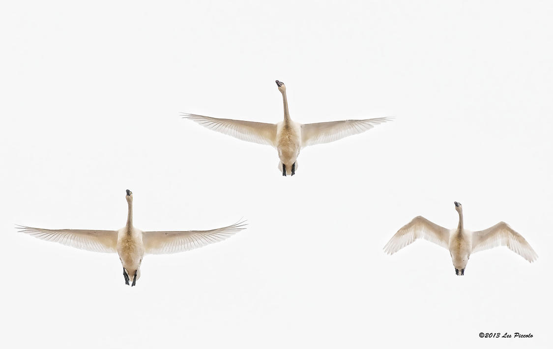 Tundra Swans Overhead by Les-Piccolo