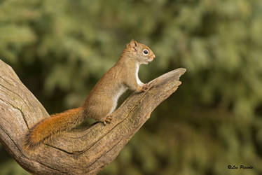 Red Squirrel by Les-Piccolo