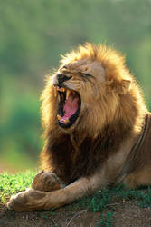 African Lion by catman-suha
