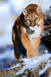 Puma 3 by catman-suha