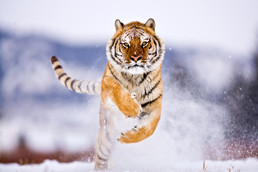 Siberian Tiger 2 by catman-suha