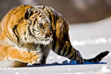 Siberian Tiger 4 by catman-suha