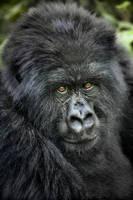 Mountain Gorilla 2 by catman-suha