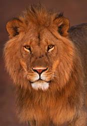 Lion 5 by catman-suha
