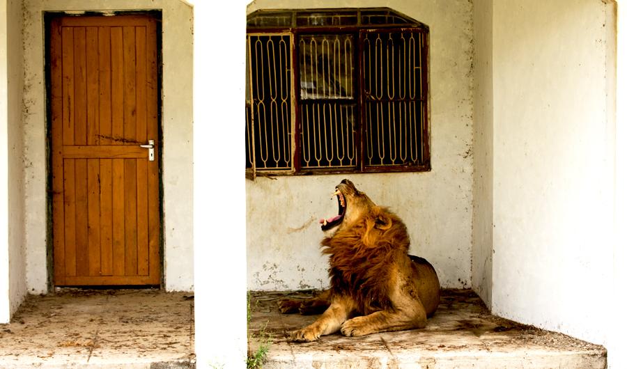 Leones Africanos - 69 Fotos HQ