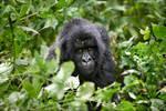 Mountain Gorilla 4