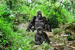 Mountain Gorilla 5