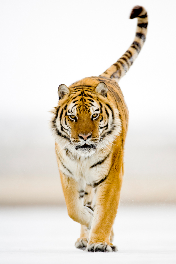 Tigre Siberiano - Fotos HQ