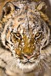 Siberian Tiger 7