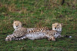 Cheetah 6 by catman-suha