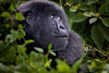 Mountain Gorilla 7 by catman-suha