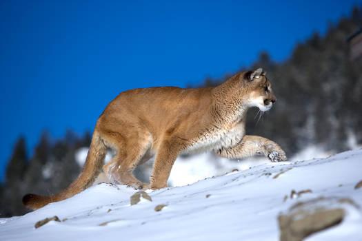 Puma 10