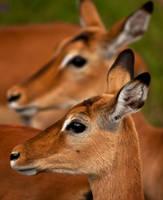 impala clon by catman-suha