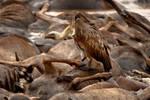 Vulture 2