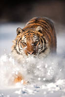 The Tiger and The Snow 2 by catman-suha
