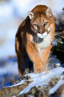 Puma concolor 12 by catman-suha