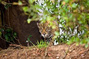 Jaguar Panthera onca by catman-suha