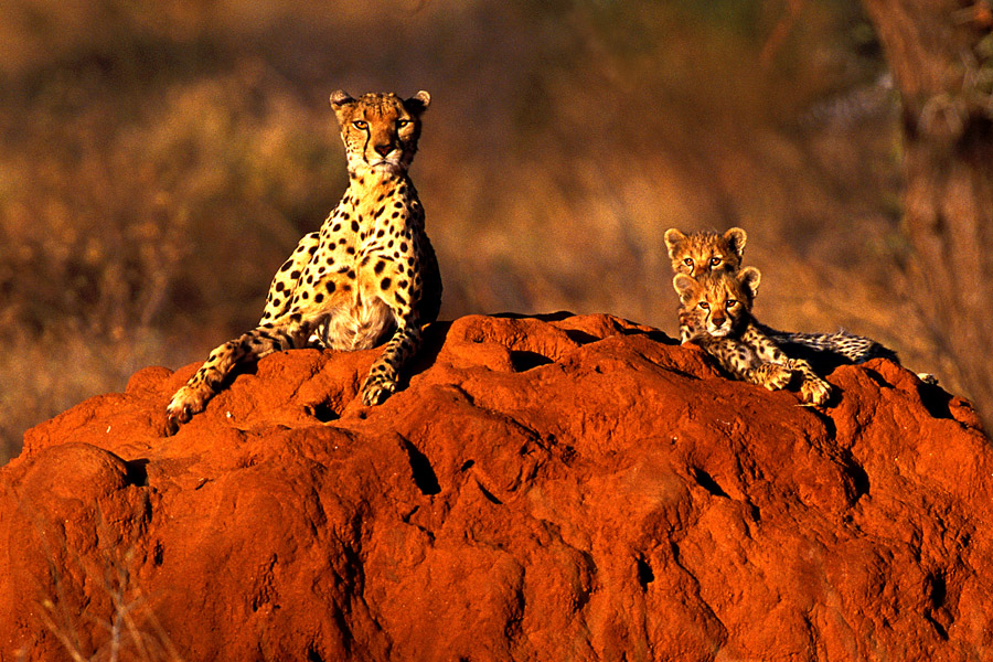 Cheetah 8 by catman-suha