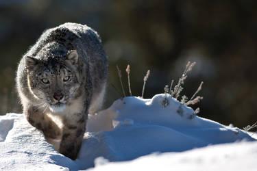 Snow Leopard 5 by catman-suha