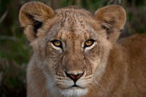 Lion cub by catman-suha
