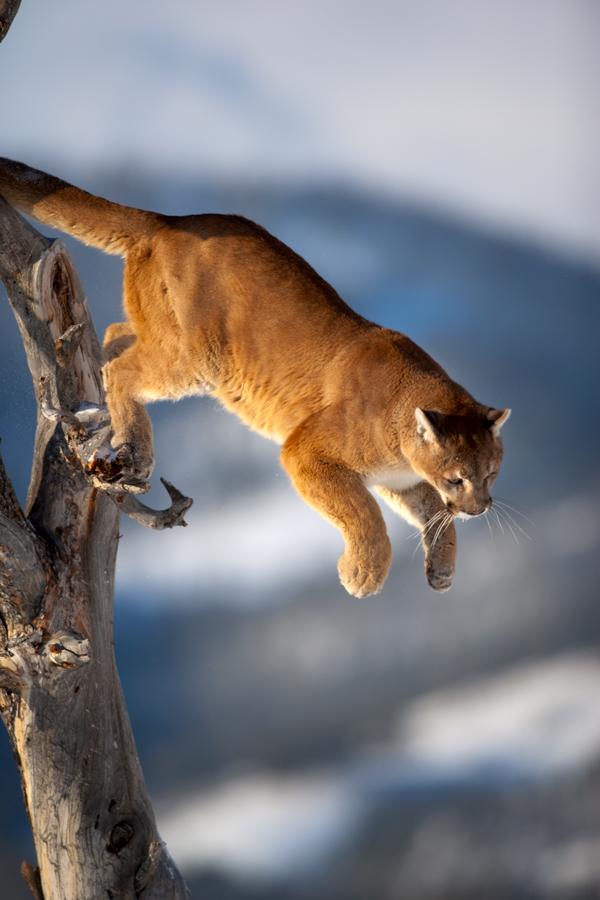 Puma concolor 16 by catman-suha