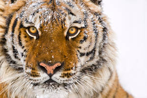 Siberian Tiger 12 by catman-suha